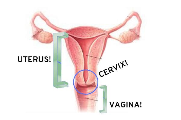 cervix serviks wanita