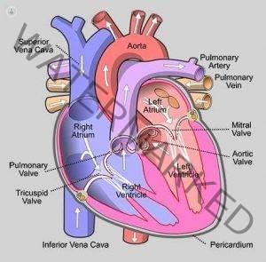 Injap Jantung