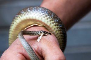 patuk ular