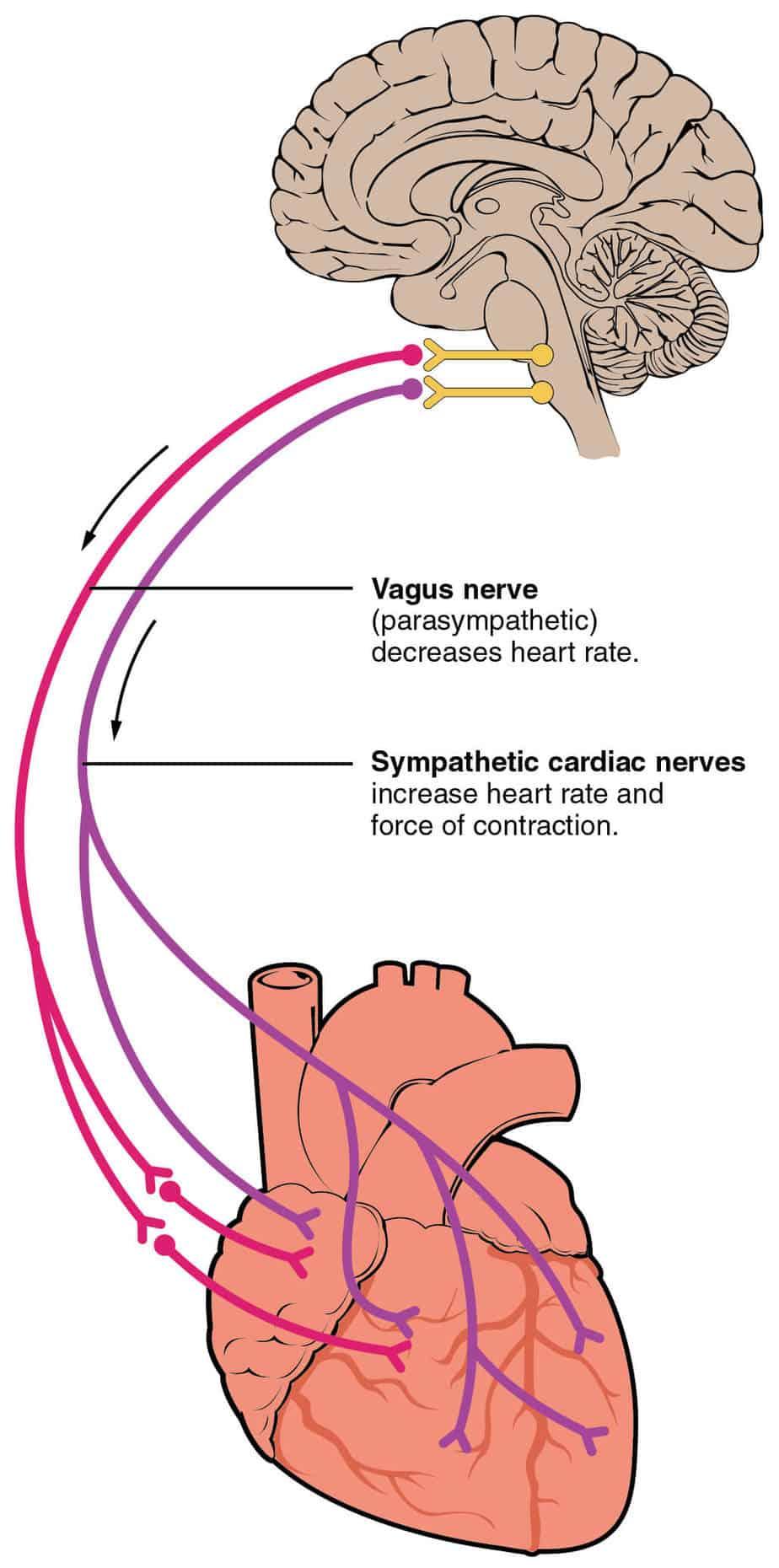 otak urat jantung